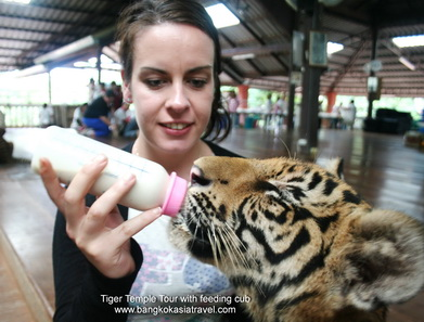Feeding Tiger Cubs in Tiger temple tour
